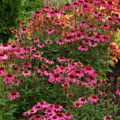 Echinacea 'Amazing Dream'