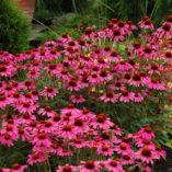 Echinacea 'Amazing Dream'