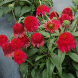 Echinacea CARA MIA™ Rose