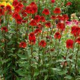 Echinacea 'Cinnamon Cupcake'