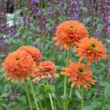 Echinacea 'Colorburst Orange'