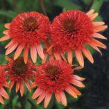 Echinacea 'Coral Reef'