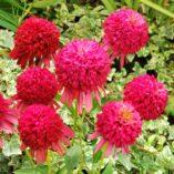 Echinacea 'Cranberry Cupcake'