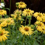 Echinacea 'Daydream'