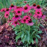 Echinacea 'Dixie Belle'