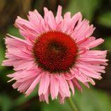 Echinacea 'Fancy Frills'