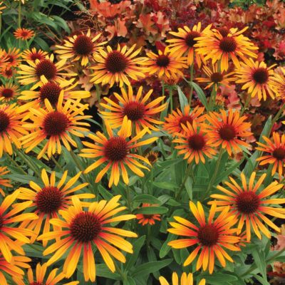 Echinacea 'Flame Thrower'
