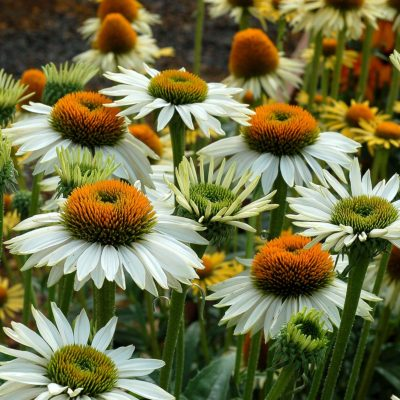 Echinacea 'Fragrant Angel'
