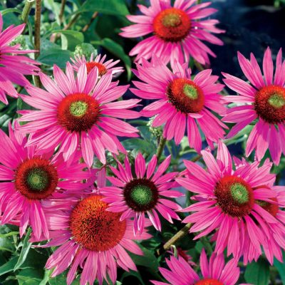 Echinacea 'Green Eyes'