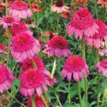 Echinacea 'Gum Drop'