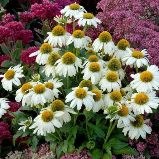 Echinacea 'Heavenly Dream'