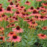Echinacea 'Hot Lava'