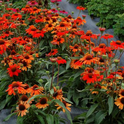 Echinacea KISMET® Intense Orange