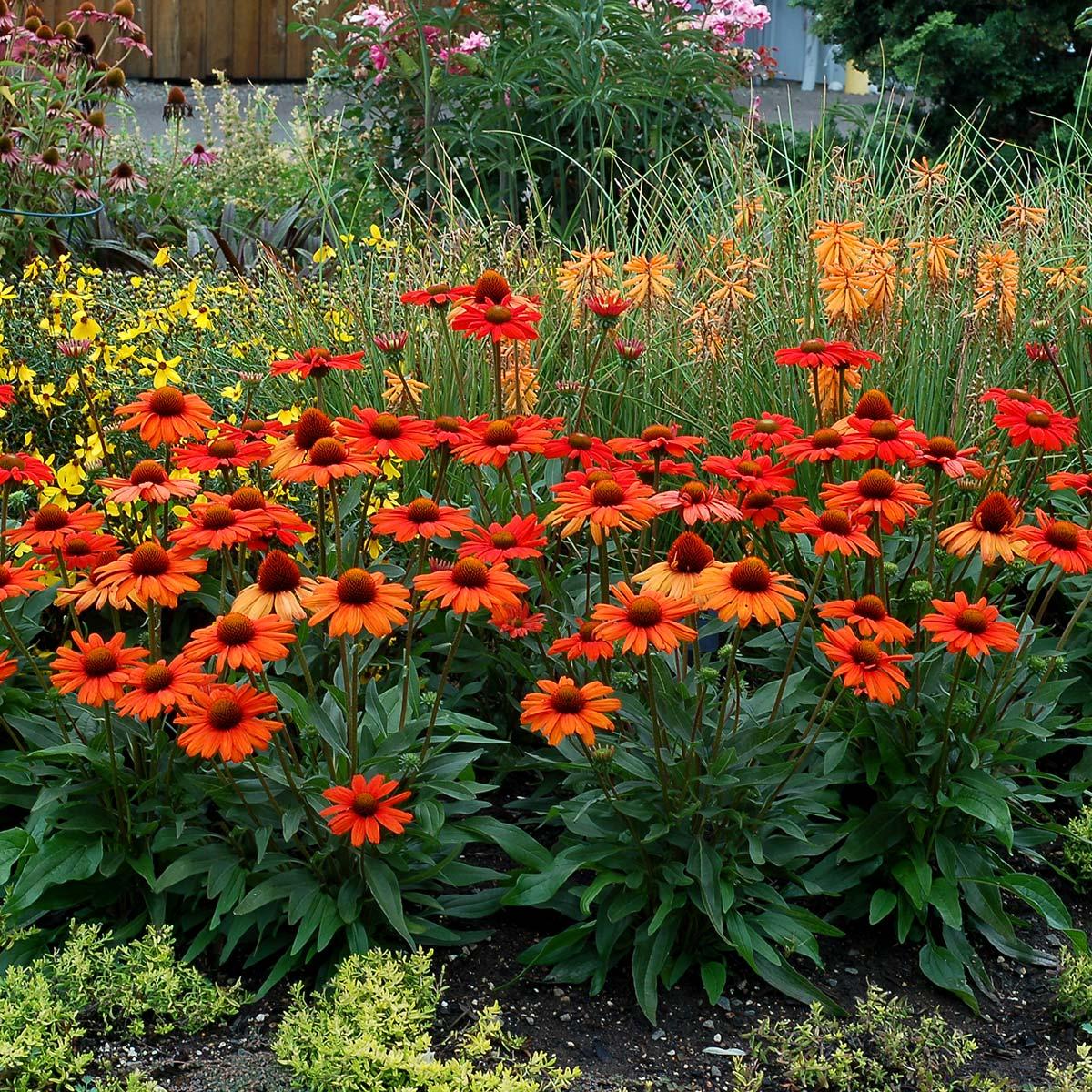 Echinacea KISMET® Intense Orange | TERRA NOVA® Nurseries, Inc.