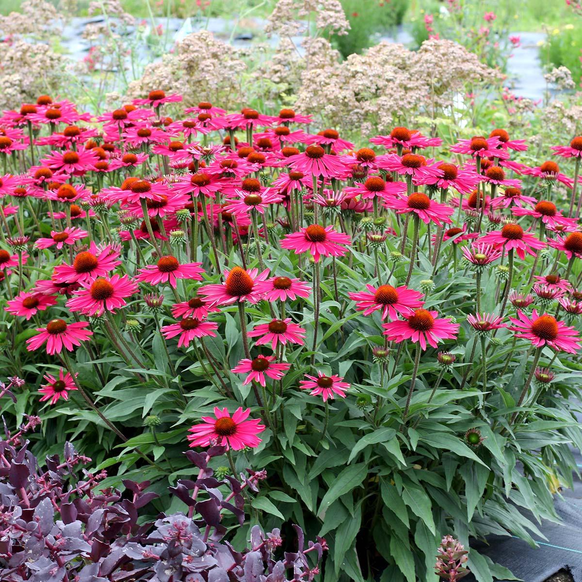 Echinacea KISMET™ Raspberry
