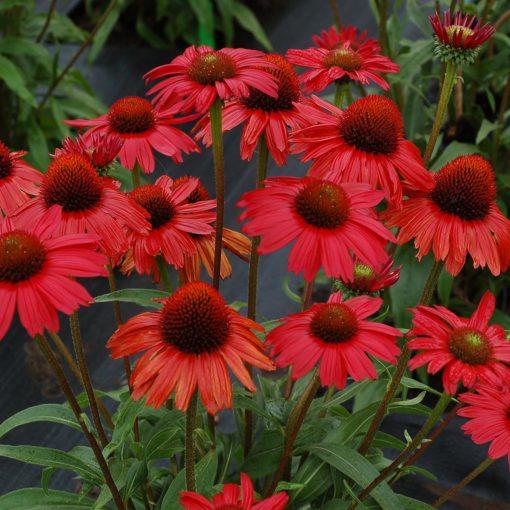 Echinacea Kismet Red Terra Nova Nurseries Inc
