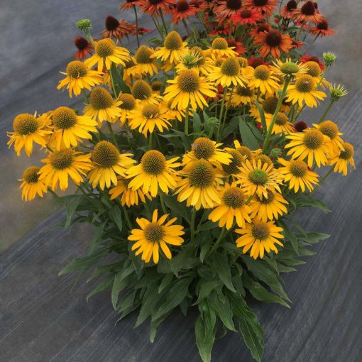 Echinacea Kismet Yellow Terra Nova Nurseries Inc