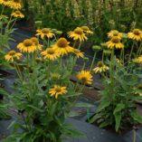 Echinacea KISMET™ Yellow