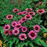 Echinacea 'Lilliput'
