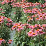 Echinacea 'Little Giant'