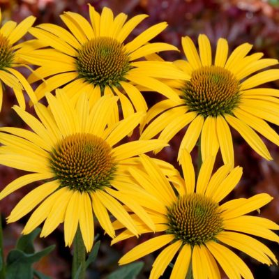 Echinacea 'Mac 'n' Cheese'