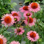 Echinacea 'Mars'