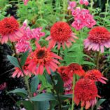 Echinacea 'Meteor Red'