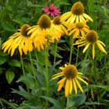 Echinacea 'Now Cheesier'
