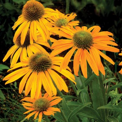 Echinacea 'Now Cheesier'