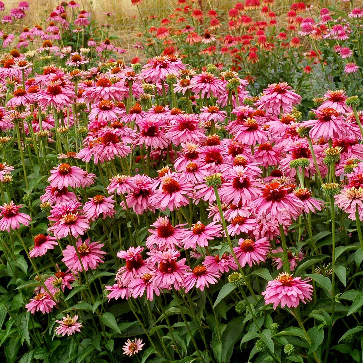 Echinacea 'Pink Poodle'