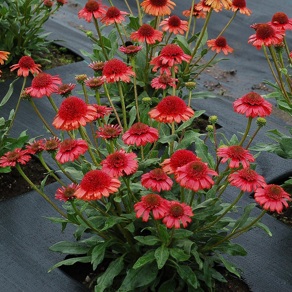 Echinacea PRIMA™ Cinnamon