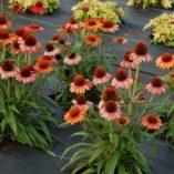 Echinacea PRIMA™ Ginger