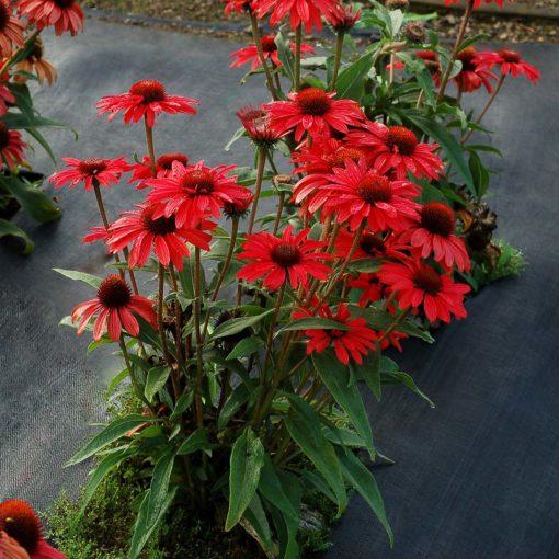 Echinacea PRIMA™ Ruby
