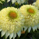 Echinacea PUFF™ Vanilla