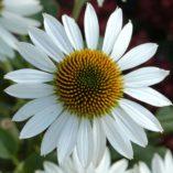 Echinacea 'Purity'