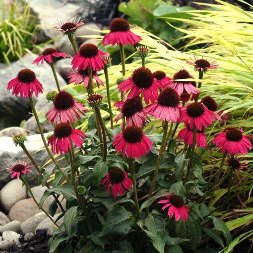 Echinacea 'Raspberry Tart'