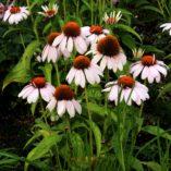 Echinacea 'Rosita'