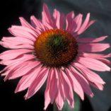 Echinacea 'Ruby Giant'
