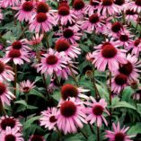 Echinacea 'Satin Nights'
