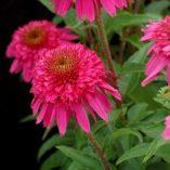 Echinacea 'Secret Affair'