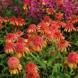 Echinacea 'Secret Desire'