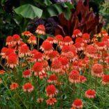 Echinacea 'Secret Lust'