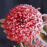 Echinacea 'Secret Passion'