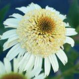 Echinacea 'Secret Pride'