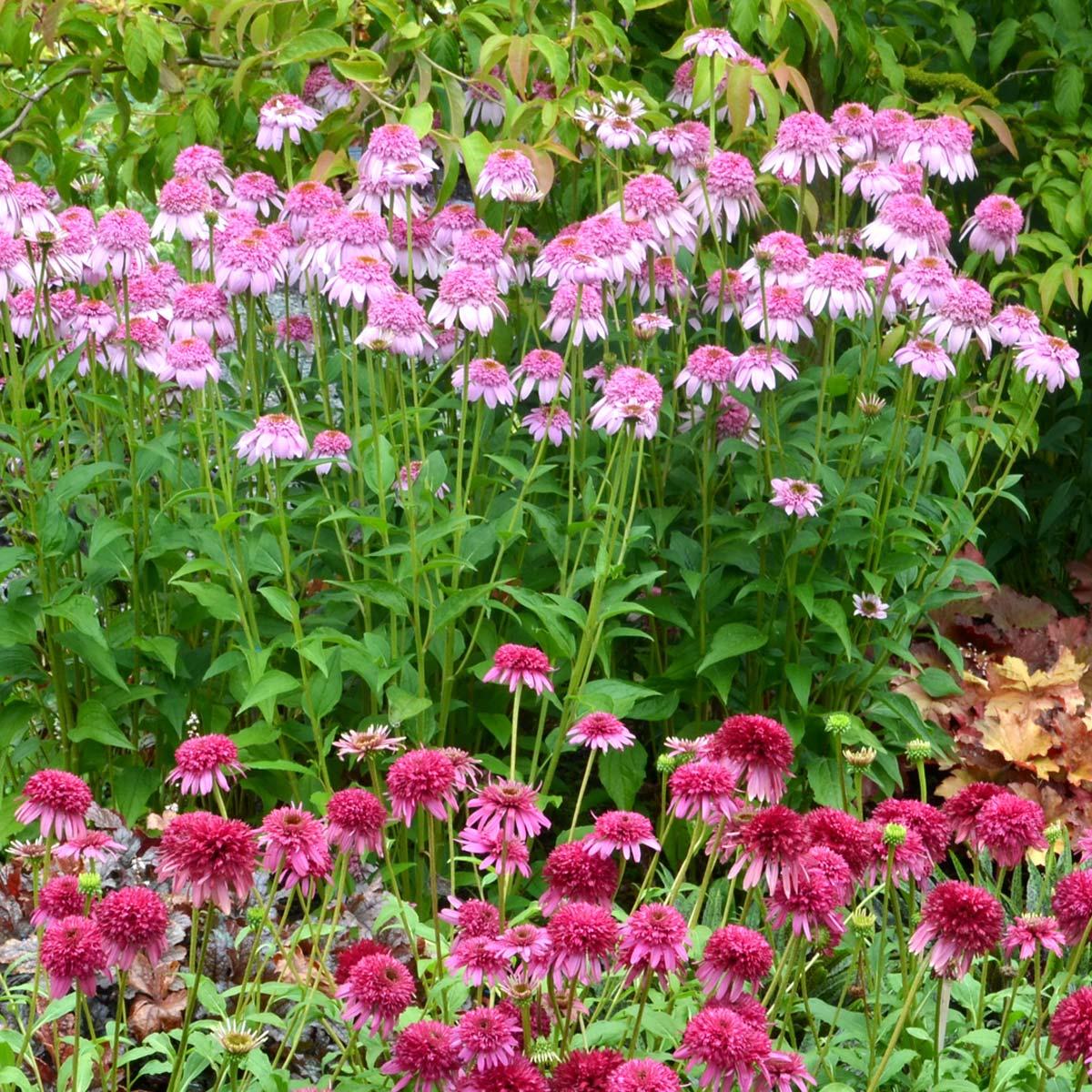 Echinacea 'Secret Romance'