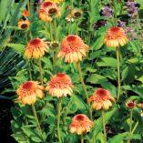 Echinacea SUPREME™ 'Cantaloupe'