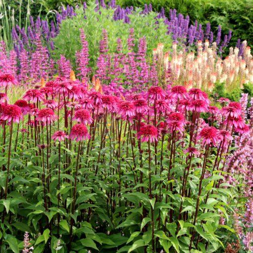 Echinacea SUPREME™ 'Elegance'