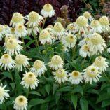Echinacea 'Vanilla Cupcake'