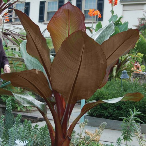 Ensete 'Tandarra Red'