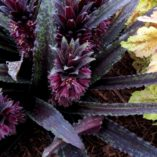 Eucomis 'Dark Star'